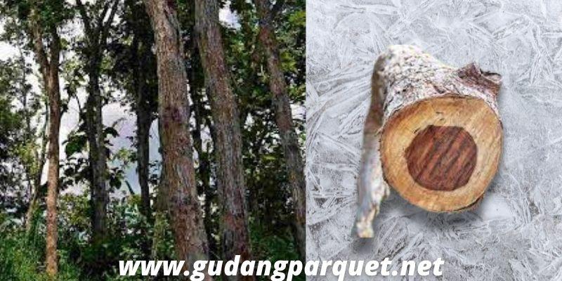 asal kayu sonokeling