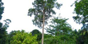 kayu keruing