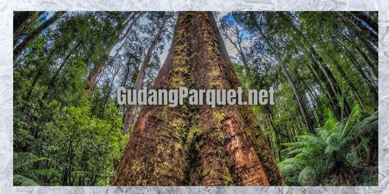 asal usul pohon kayu bengkirai